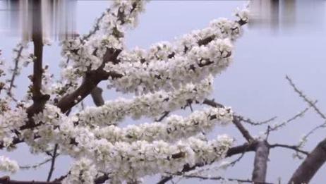 """""""中国李子之乡""""万亩李花怒放 花团锦簇"""