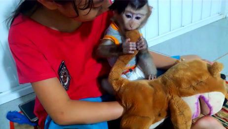 坐在主人怀里的小猴子,抱着玩偶就开啃:不许比我好看