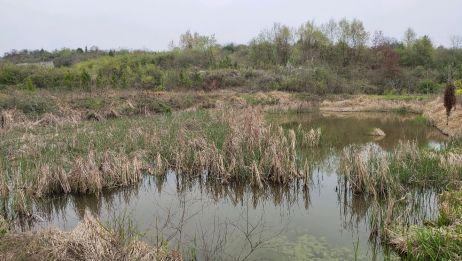 野钓: 长满芦苇草的野塘,里面鲫鱼真多,钓得太爽了
