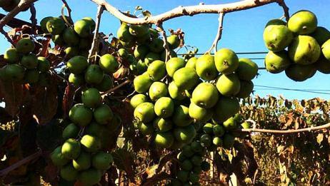梨树苹果树都不要种了,这种水果价格超高,种一棵来年大丰收!