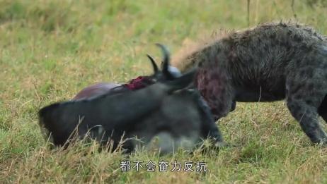 """动物被鬣狗""""掏肛""""后,都不会反抗,到底是为什么?"""