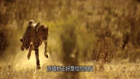 最快的狗灵缇PK猎豹,猎豹淡定的表示:你先跑,我抽支烟!