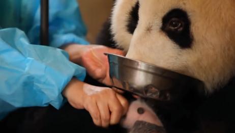 熊猫妈妈不知自己生了双胞胎,就因一碗糖水,孩子就送人了!