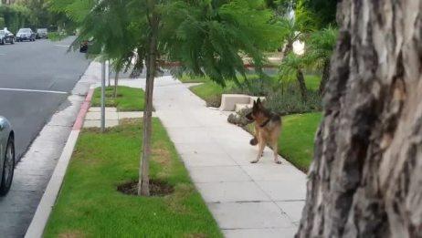 遛狗的时候,主人突然藏起来,狗狗发现主人不见了后突然害怕了
