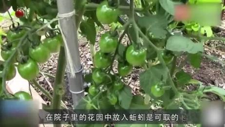 盆栽里放蚯蚓不好,花园里放蚯蚓可以,单独饲养取肥最好