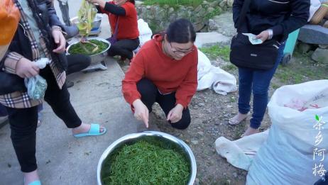 春茶接近尾声,青叶价格35一斤,茶农下山卖茶几个老板在抢