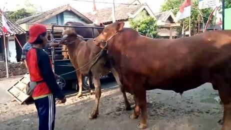 大爷拉母牛配种,少妇端盆水泼在公牛身上,小哥看的瞬间笑了起来