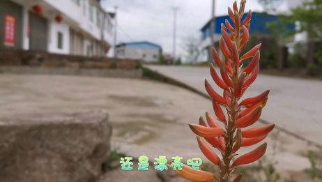 活了三十几年的骁骁妈第一次看见芦荟开花。芦荟开花预示着什么呢