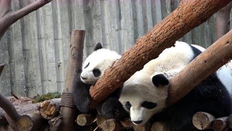 自从生了双胞胎,大熊猫不是在哄娃就是在找娃,真是操碎了心