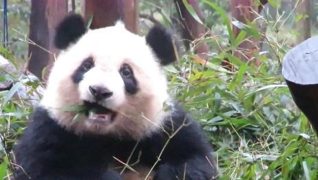 熊猫奇一头顶wifi吃播忙,圆胖的大脸看不够