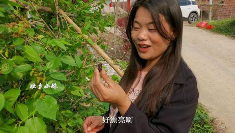 100年的古村有一棵野生桑葚,结满果没人吃,小妹直接摘起就