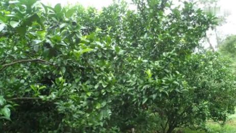 黄龙病打针果树打针输液滴注植物输液果树加压输液技术黄龙病防治效果