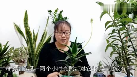 废油桶里养的芦荟,竟然开花了,芦荟开花竟然有好兆头?