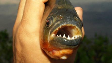 食人鱼有多凶猛?小伙把鸭子放进河中,30秒后只剩下骨头!