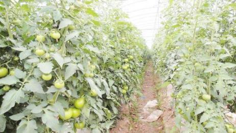 番茄冬季叶片发黄咋回事?可不是缺肥,农民别再搞错了