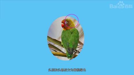 原来这就是费氏情侣鹦鹉