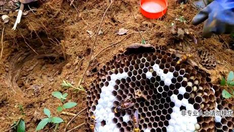 农村小哥发现一窝虎头蜂,本以为是大家伙,结果三两下就完事了