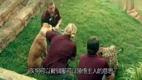 带你看看世界上跑得最快的狗灵缇PK猎豹
