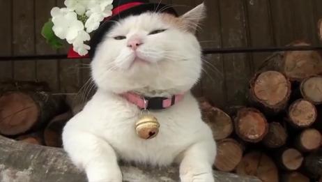 日本网红猫去世,曾因表情包风靡网络