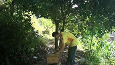 蜜蜂起自然王台想分蜂怎么办?