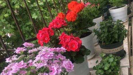经过一个月调整,阳台终于恢复了生机,虽然不能去植物园,我们可以在阳台赏花嘛,你好