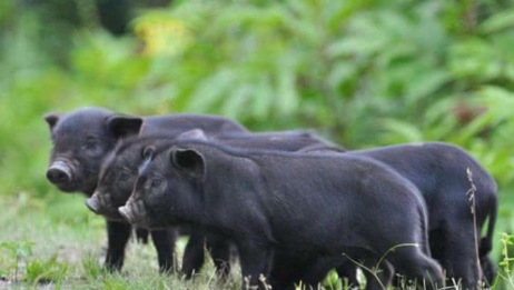 吃了这么多年猪肉,你们可知道,养殖场生病的猪是怎么处理的吗?