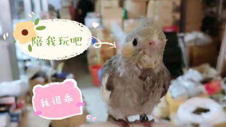 发现一只2个月大的小鹦鹉,毛都没换完,直往人身上钻