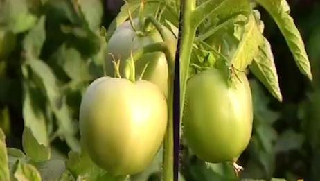 西红柿为啥叶片发黄,果实发白,专家一语中的
