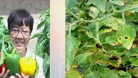 西红柿叶片有黄边和斑点,农业专家告诉你!