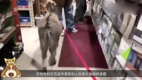 老外养了一头驴!从小跟狗一起长大被带偏!结果画风竟成了这样