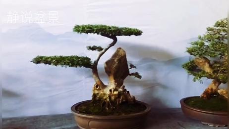洛阳盆景展会上欣赏极品附石盆景,造型独树一帜自然融合奇特优雅