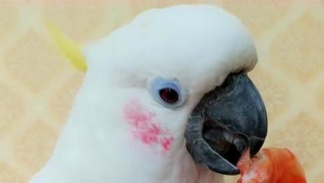 好漂亮的一只鹦鹉,看它吃东西的模样,真是太可爱了!
