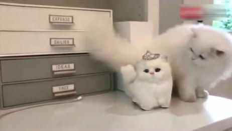 波斯猫:小可爱你怎么不和我玩,小可爱是玩具猫