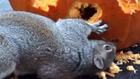 松鼠啃南瓜 终于知道松鼠的大尾巴的用途了