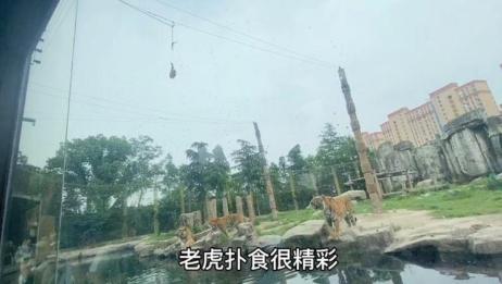 8分钟带你逛逛上海野生动物园,康康呆萌呆萌的小动物们