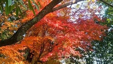 枫叶又红了