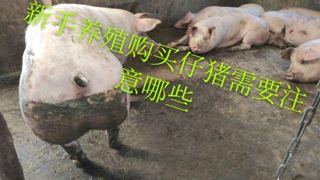 2020年新手养猪 购买仔猪 该如何去挑选 能不能在网上购买