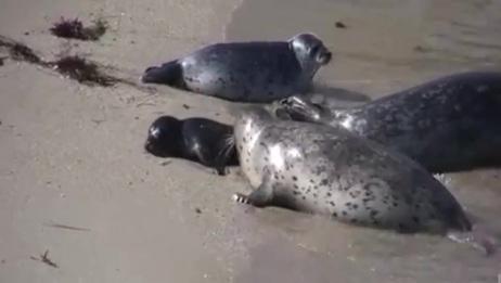 伟大的母爱!海豹宝宝出生了