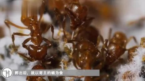 天生没有长翅膀的蜜蜂,连名字都随蚂蚁叫了,还和国宝一个颜色