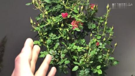 养的花出现蚜虫,不喷药也能治好,几个简单的放法轻松搞定蚜虫