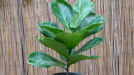 养护琴叶榕,掌握好3个养护技巧,植株蹭蹭蹿,叶子更油绿!