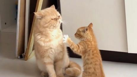 小奶猫刚满月就和姐姐打架,别看个子小,打起架来谁也不服