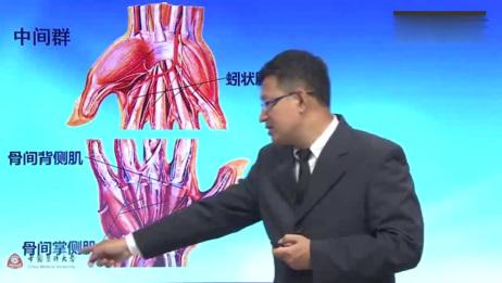 中国医科大学解剖学之第13集 手肌的解剖