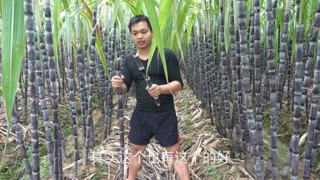 农村小伙说黑色甘蔗更好吃,你们觉得呢
