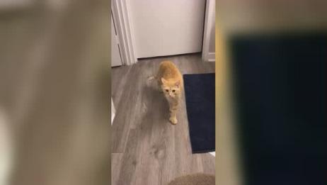 这就是你们好奇的手套猫,天生多趾小橘猫,真的超可爱!