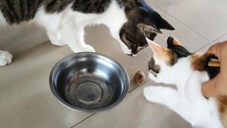 狸花猫一口气抢吃三颗鸡心,小花猫只能在爸爸的保护下,得到一颗