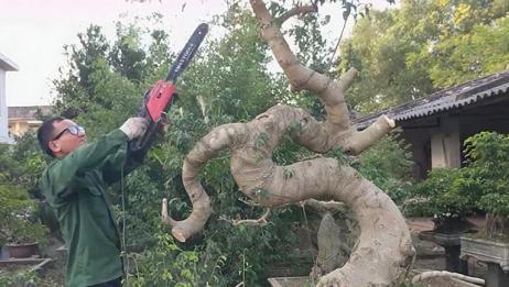 长得像龙形的盆景树桩,大师用电锯修剪,快准狠,马上显出了原形