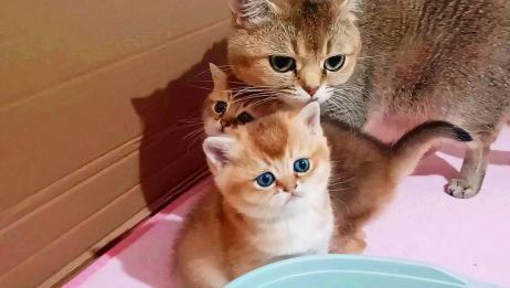 猫爸醒来发现怀里有个崽,它懵了!奶猫接连咬断三个奶嘴,你豪横