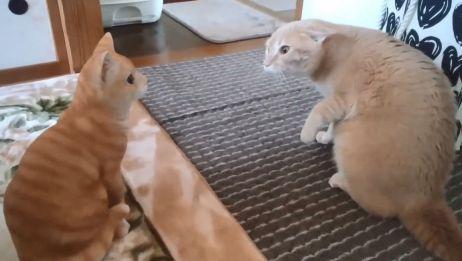 猫猫初次相见,直接吓成飞机耳木头喵