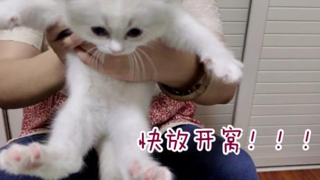 【布偶猫】奶猫日记第二弹!花溪和蔚蓝第一次剪指甲!